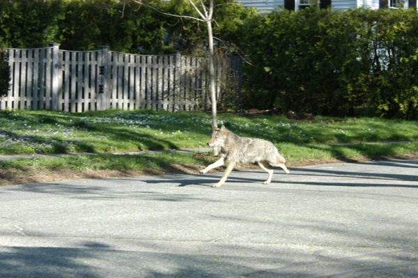 Belmont coyote