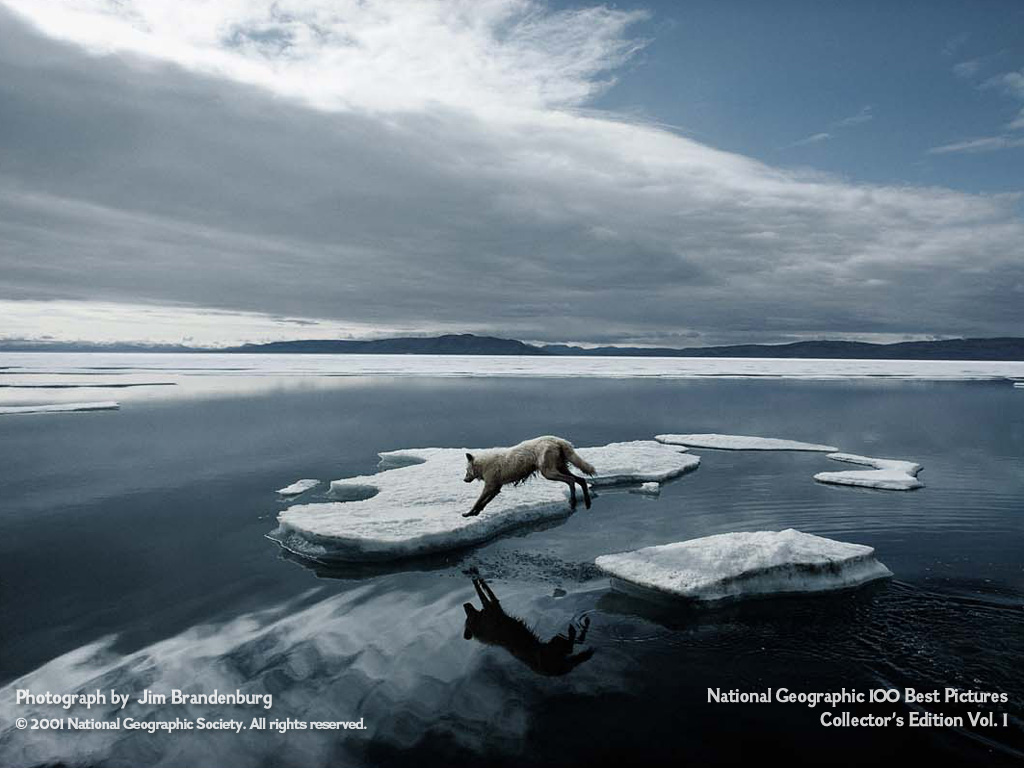 Esa canción que me alegra el día (esperando a Haiku) Jim-brandenburg-leaping-arctic-wolf-2001
