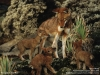 anup-shah-ethiopian-wolves-2006
