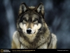 joel-sartore-grey-wolf-2006