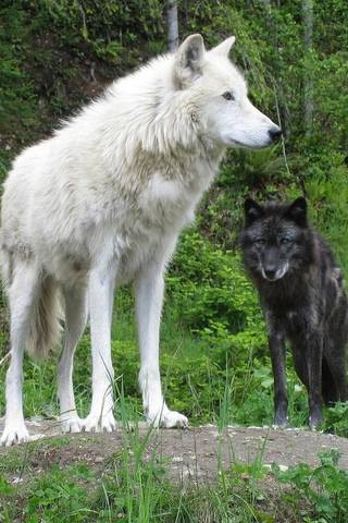 Get Inspired For White Wolves Iphone Wallpaper Photos